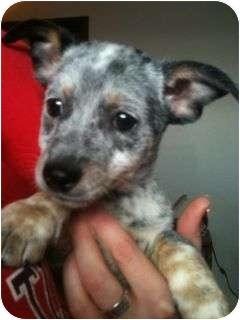 Australian Cattle Dog/Rat Terrier Mix Puppy for adoption in Astoria, New York - Jack