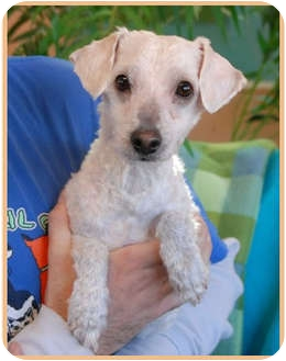 Poodle (Toy or Tea Cup) Mix Dog for adoption in Las Vegas, Nevada - Mad Hatter