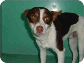 Chihuahua Mix Dog for adoption in Yuba City, California - Zeus
