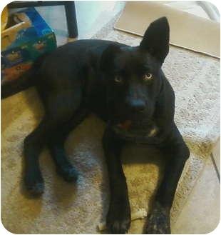 Australian Cattle Dog Mix Puppy for adoption in Garwood, New Jersey - Zeus (Jagger)