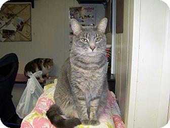 Domestic Shorthair Cat for adoption in Dover, Ohio - Velvet