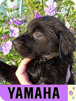 Labrador Retriever Mix Puppy for adoption in Largo, Florida - Yamaha