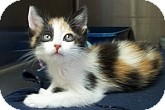 Calico Kitten for adoption in Silver City, New Mexico - Ichebod
