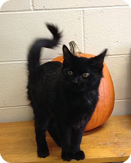 Domestic Shorthair Kitten for adoption in South Haven, Michigan - Brick