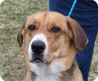 Labrador Retriever/Shepherd (Unknown Type) Mix Dog for adoption in Sidney, Ohio - Sampson