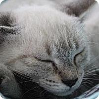 Adopt A Pet :: Alegra - Santa Monica, CA