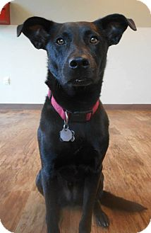 Labrador Retriever Mix Dog for adoption in Indianapolis, Indiana - Cooper