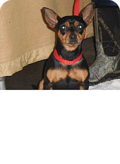 Manchester Terrier Mix Dog for adoption in Kendall, New York - Marty