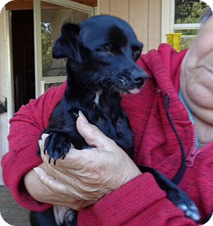 Chihuahua Dog for adoption in Crump, Tennessee - Sookie