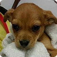 Adopt A Pet :: Apple Butter - Phoenix, AZ