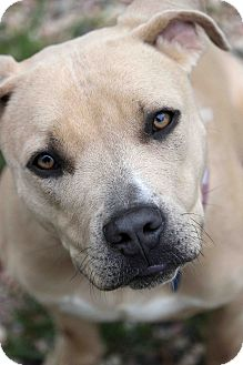 Pit Bull Terrier Mix Dog for adoption in Westminster, Colorado - Yolanda