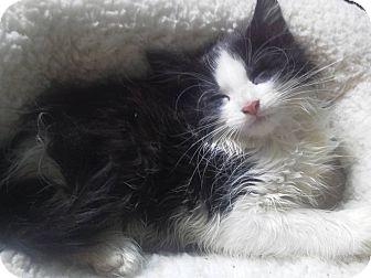 Domestic Longhair Kitten for adoption in Fairborn, Ohio - Chauncy