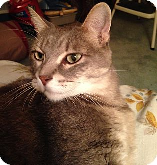 Domestic Shorthair Cat for adoption in Lombard, Illinois - Thumbelina