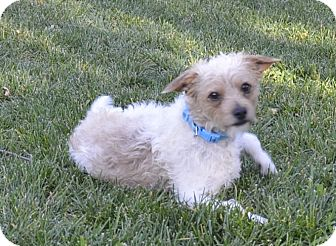 Wirehaired Fox Terrier/Jack Russell Terrier Mix Dog for adoption in Pleasanton, California - Levi