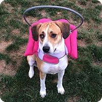 Adopt A Pet :: Bella - Morgantown, WV