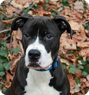 Pit Bull Terrier Mix Dog for adoption in Port Washington, New York - Mulder