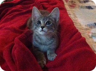 Domestic Shorthair Kitten for adoption in San Antonio, Texas - Thomas