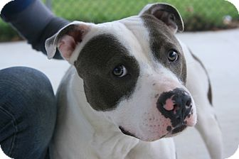 Pit Bull Terrier Mix Dog for adoption in Toms River, New Jersey - Domino