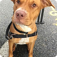 American Pit Bull Terrier Mix Dog for adoption in Newfield, New Jersey - Faith