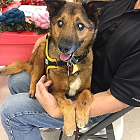 Australian Shepherd/German Shepherd Dog Mix Dog for adoption in Denver, Colorado - Sadi the Gryffindor