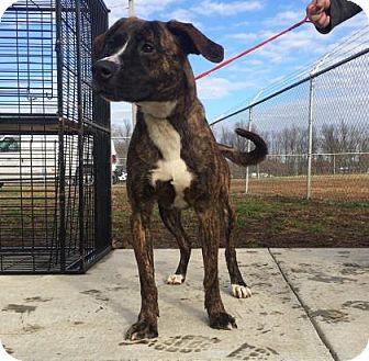 Labrador Retriever Mix Dog for adoption in Paducah, Kentucky - Faelynn