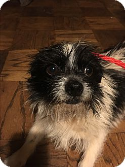 shih tzu rescue nyc astoria ny shih tzu terrier unknown type small mix 4852