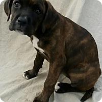 Adopt A Pet :: Autumn - East Hartford, CT