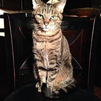 American Shorthair Cat for adoption in Denver, Colorado - Nelson