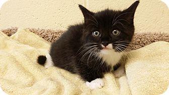 Domestic Shorthair Kitten for adoption in Berlin, Connecticut - Buckaroo