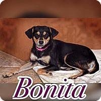 Chihuahua/Labrador Retriever Mix Dog for adoption in Smithtown, New York - Bonita