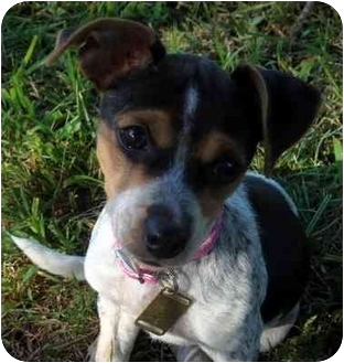 Dachshund/Terrier (Unknown Type, Small) Mix Puppy for adoption in Overland Park, Kansas - Rachael