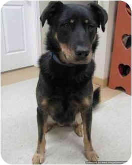 Shepherd (Unknown Type) Mix Dog for adoption in Morden, Manitoba - Drake