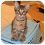 Photo 3 - Domestic Mediumhair Kitten for adoption in Houston, Texas - Matthew