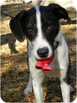 Hound (Unknown Type) Mix Dog for adoption in Hamburg, Pennsylvania - BANJO