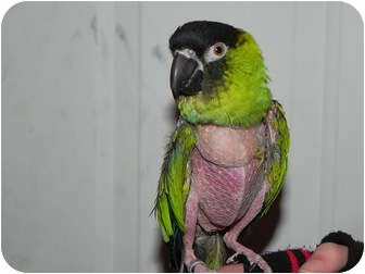 Conure for adoption in St. Louis, Missouri - Tommy