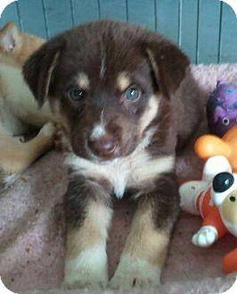 Collie/Husky Mix Puppy for adoption in Scranton, Pennsylvania - Sidney