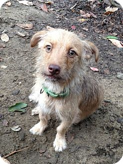 Terrier (Unknown Type, Small) Mix Dog for adoption in Medford, New Jersey - Leo
