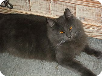 Russian Blue Kitten for adoption in lake elsinore, California - Thor