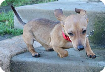 Dachshund Mix Puppy for adoption in Los Angeles, California - Amos