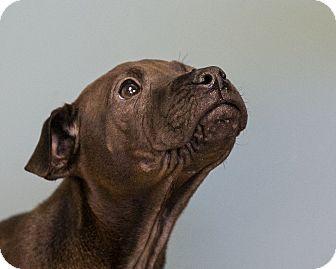 Shar Pei/Shepherd (Unknown Type) Mix Puppy for adoption in Staunton, Virginia - Anthony