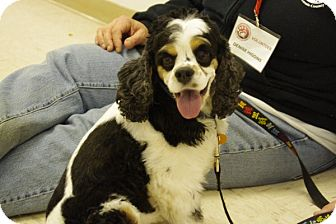 Cocker Spaniel Mix Dog for adoption in Elyria, Ohio - Spike