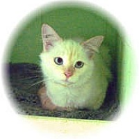 Adopt A Pet :: Vanilla - Shelton, WA