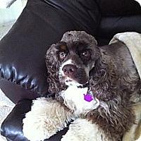 Adopt A Pet :: Gertie - batlett, IL