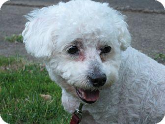 Bichon Frise Dog for adoption in Salem, Oregon - Clancy