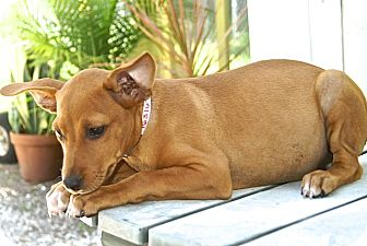 Basenji Mix Puppy for adoption in Englewood, Florida - Clover