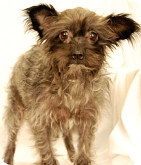 Yorkie, Yorkshire Terrier/Terrier (Unknown Type, Medium) Mix Dog for adoption in Newland, North Carolina - Meadow