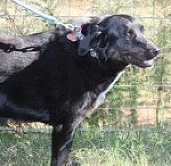 Labrador Retriever Mix Dog for adoption in Newnan, Georgia - Flo