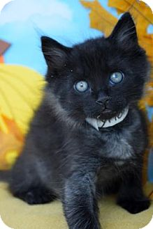 Domestic Mediumhair Kitten for adoption in Bradenton, Florida - Tyrion
