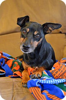 Miniature Pinscher Dog for adoption in Nashville, Tennessee - Spunky