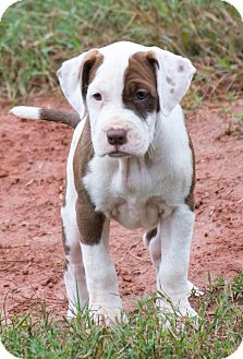 American Staffordshire Terrier Mix Puppy for adoption in Seneca, South Carolina - Harmony - $250